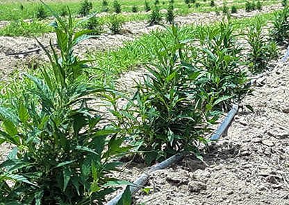 Tuskegee joins study of agricultural, economic opportunities for industrial hemp cultivation